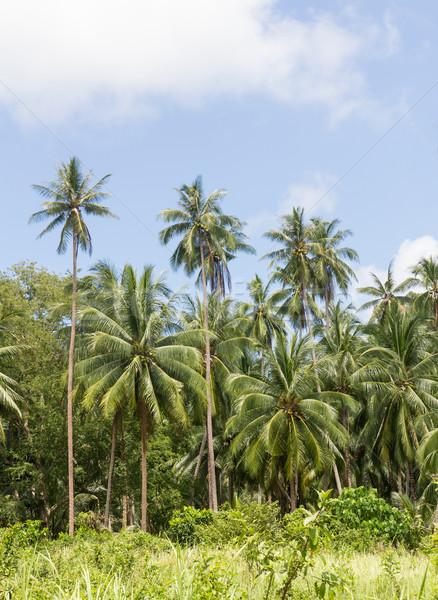 Cocotier arbres coco plantation île Thaïlande Photo stock © stoonn