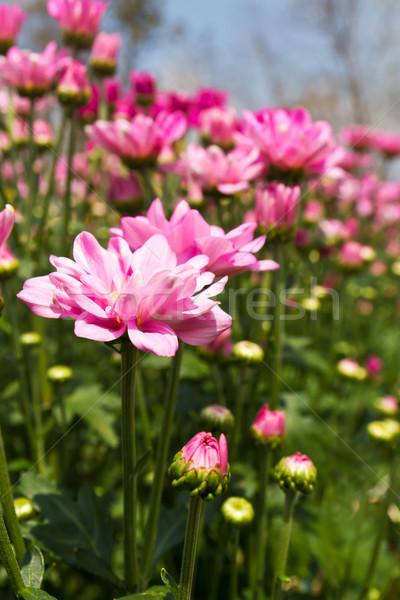 Rosa crisantemo flores jardín naturaleza fondo Foto stock © stoonn