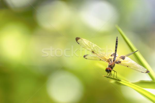 トンボ 座って 緑色の葉 緑の草 自然 背景 ストックフォト © stoonn
