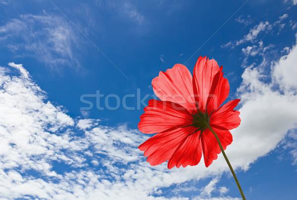 Red Cosmos flowers  Stock photo © stoonn