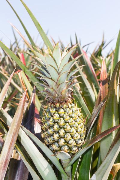 Ananás plantação verde verão dia Foto stock © stoonn