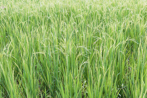 Close up paddy field Stock photo © stoonn