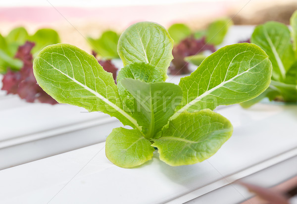 Organic hydroponic vegetable  in greenhouse Stock photo © stoonn