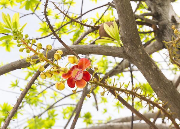 Cannon Ball or Sal of India flower Stock photo © stoonn