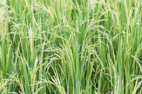 Alan pirinç hasat sezon yeşil Stok fotoğraf © stoonn