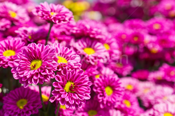 Renkli pembe krizantem çiçekler bahçe çiçek Stok fotoğraf © stoonn