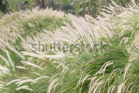 Pena grama jardim natureza primavera verão Foto stock © stoonn