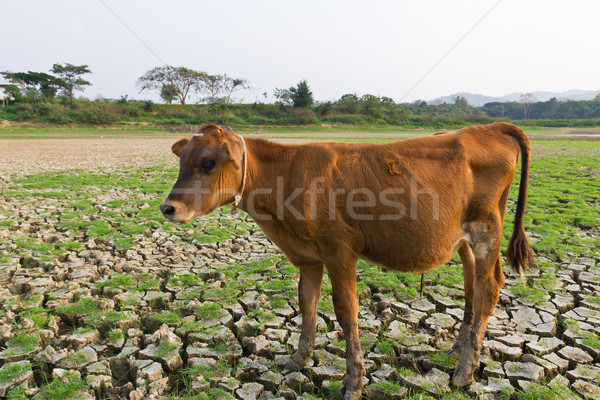 Cow and Cracked earth  Stock photo © stoonn