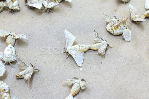 Silkworm butterflies  Stock photo © stoonn