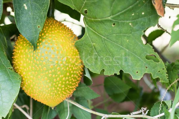 Primavera amaro frutta cetriolo baby giardino Foto d'archivio © stoonn