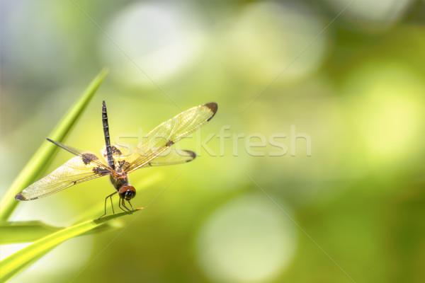 Dragonfly сидят зеленая трава зеленый портрет животного Сток-фото © stoonn