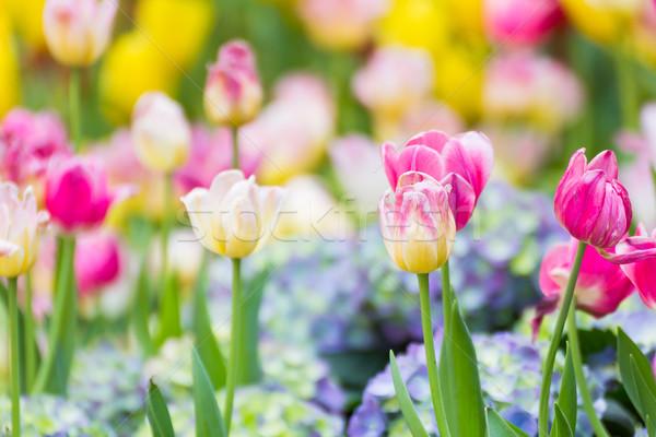 Roze tulp bloementuin bloem voorjaar Stockfoto © stoonn