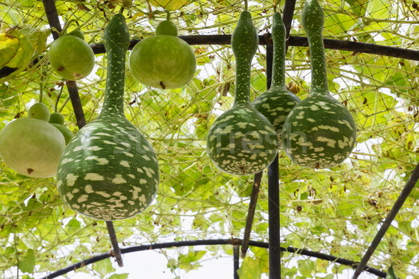 Squash growing on vine Stock photo © stoonn