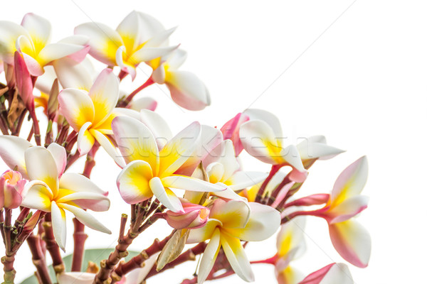Close up Lan thom flower on white Stock photo © stoonn