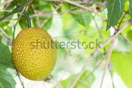 Tavasz keserű gyümölcs uborka baba kert Stock fotó © stoonn