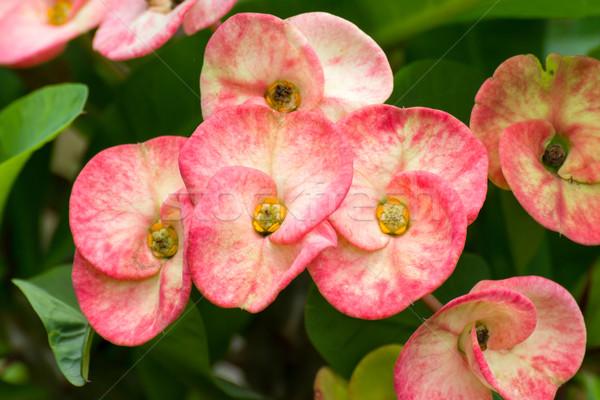 Rojo poi flores jardín Foto stock © stoonn