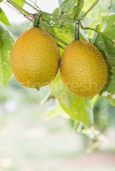 Wiosną gorzki owoców ogórek baby ogród Zdjęcia stock © stoonn