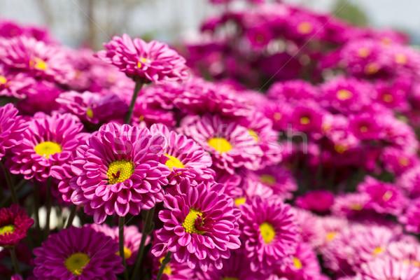 Színes rózsaszín krizantém virágok kert természet Stock fotó © stoonn