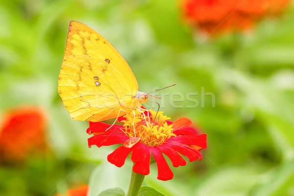 Colias erate butterfly on a mexican sunflower Stock photo © stoonn