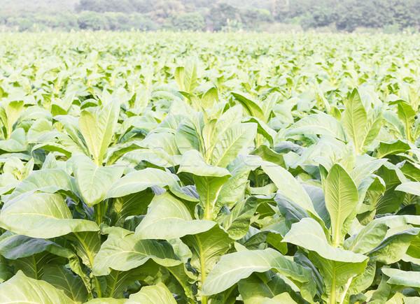 Tabak medische natuur veld boerderij Stockfoto © stoonn