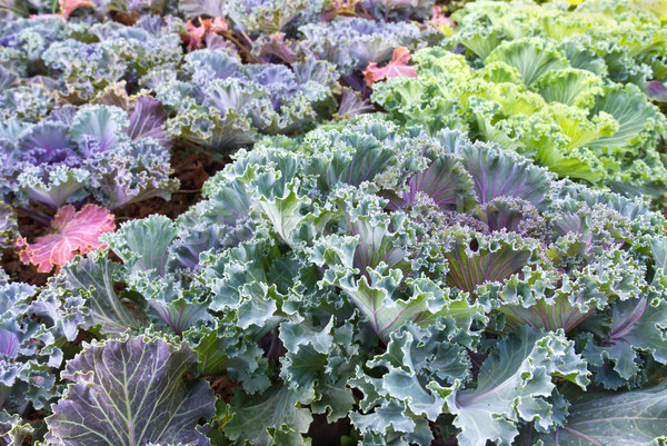 Cabbage plant leaves Stock photo © stoonn