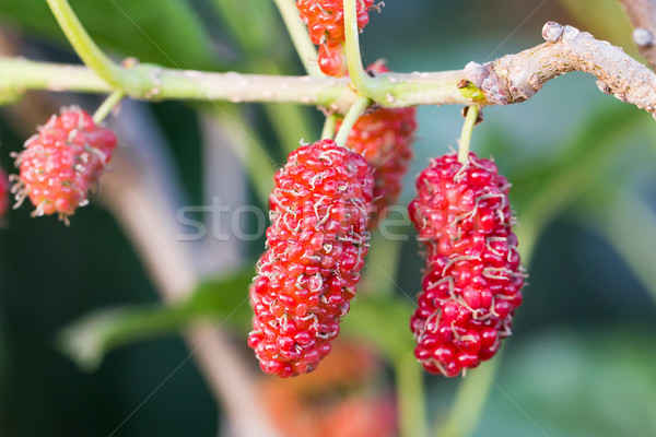 Mulberry on tree is Berry fruit in nature Stock photo © stoonn