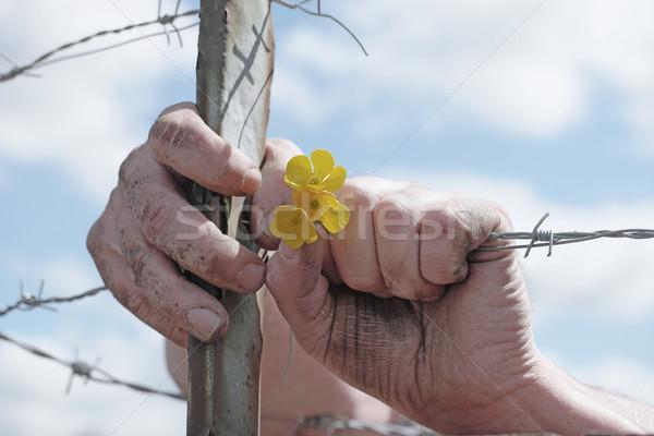 Ręce żółte kwiaty drutu kolczastego ogrodzenia Zdjęcia stock © stryjek