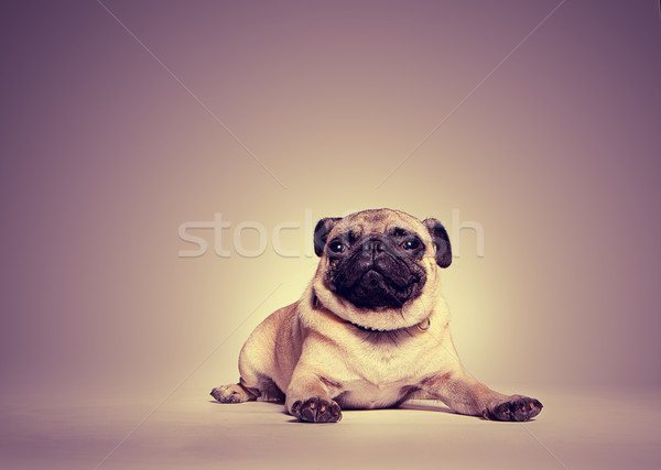 Portrait of a pug Stock photo © stryjek