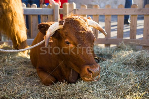 Bull resting in hay in an enclosure Stock photo © stryjek