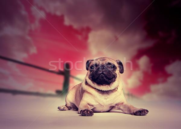 Pug dog against studio sunset backdrop Stock photo © stryjek