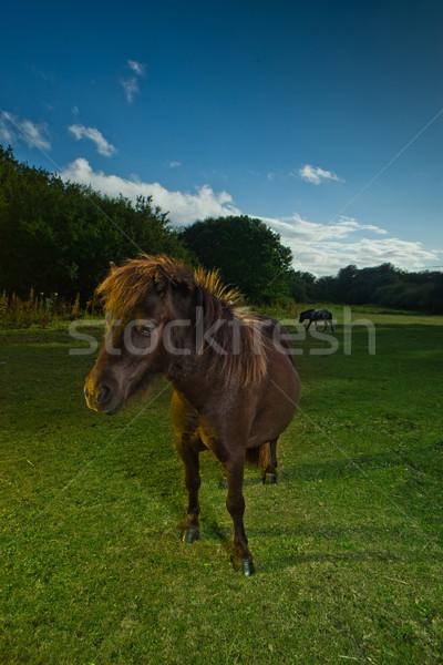 Brown horse in evening light Stock photo © stryjek