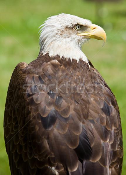 Amerikaanse kaal adelaar afbeelding vogel buit Stockfoto © Studiotrebuchet