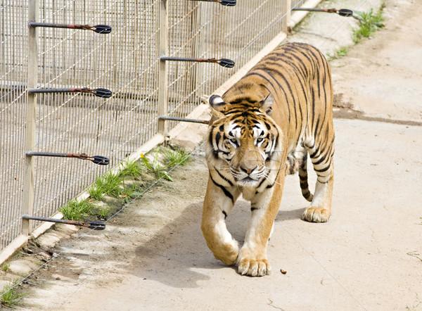 Wildlife tijger dierentuin afbeelding katachtig natuur Stockfoto © Studiotrebuchet