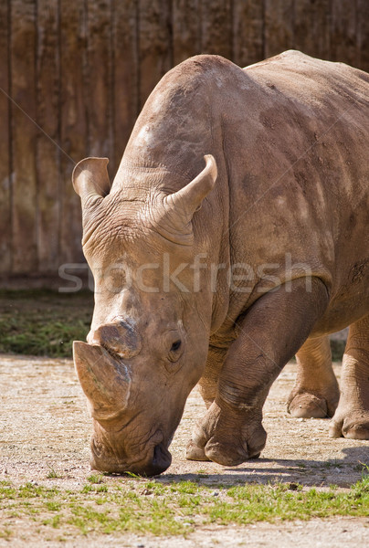 rhino portrait Stock photo © Studiotrebuchet