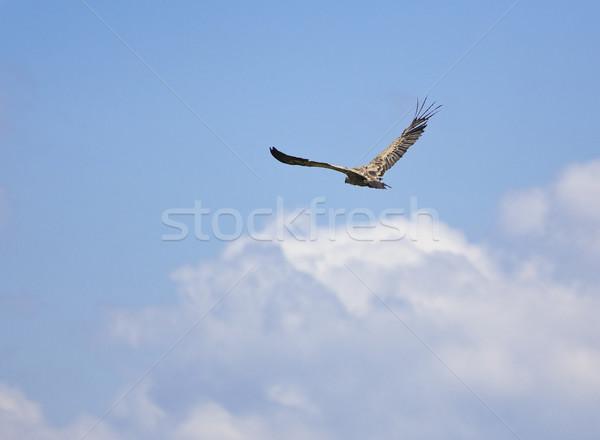 ハゲタカ 鳥 飛行 画像 青空 羽毛 ストックフォト © Studiotrebuchet