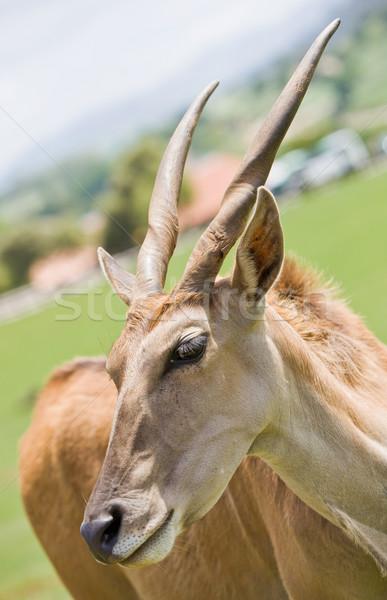 antelope in a zoo Stock photo © Studiotrebuchet