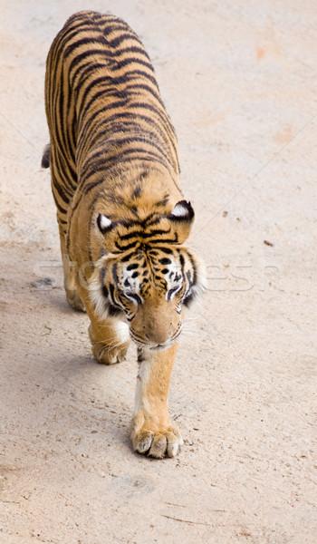 Przyrody Tygrys obraz koci charakter zwierząt Zdjęcia stock © Studiotrebuchet