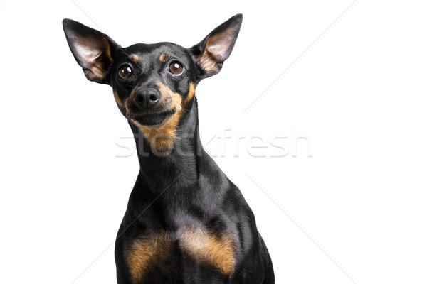 Pequeño mascota perro grande orejas blanco Foto stock © Studiotrebuchet