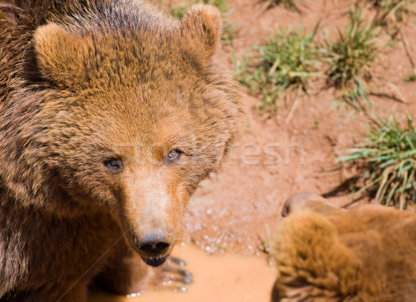 wildlife bear Stock photo © Studiotrebuchet