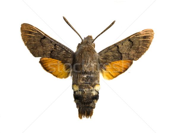 macroglossum stellatarum Stock photo © Studiotrebuchet