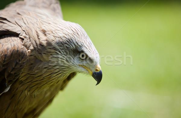 Vogel buit afbeelding natuurlijke ogen adelaar Stockfoto © Studiotrebuchet