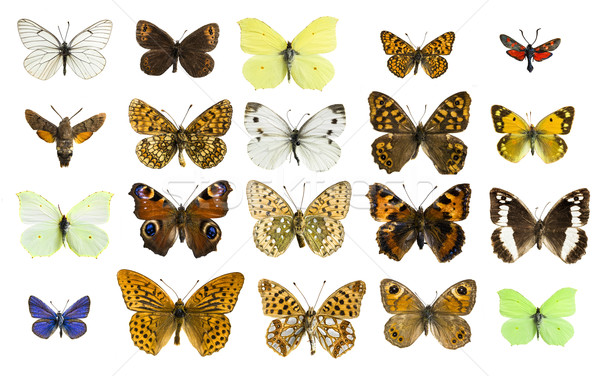 collage different butterfly species Stock photo © Studiotrebuchet