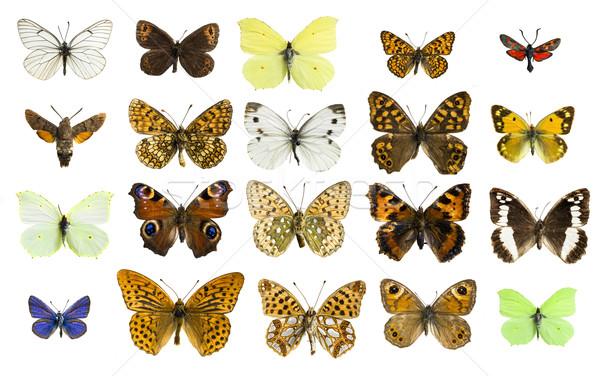 Kollázs különböző pillangó fajok igazi színes Stock fotó © Studiotrebuchet