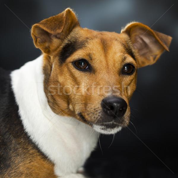харизматический собака глядя портрет Sweet можете Сток-фото © Studiotrebuchet