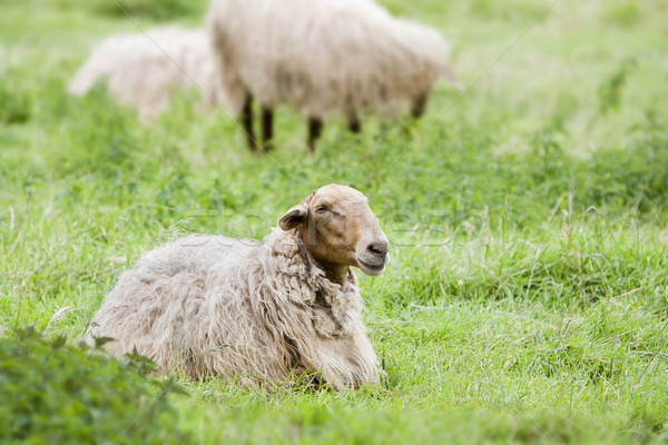 sheep in the field Stock photo © Studiotrebuchet