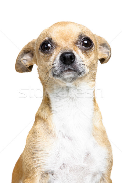 Weinig geïsoleerd witte hond honden dier Stockfoto © Studiotrebuchet