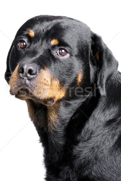 rottweiler dog Stock photo © Studiotrebuchet