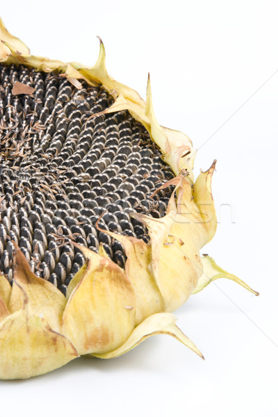 sunflower Stock photo © Studiotrebuchet