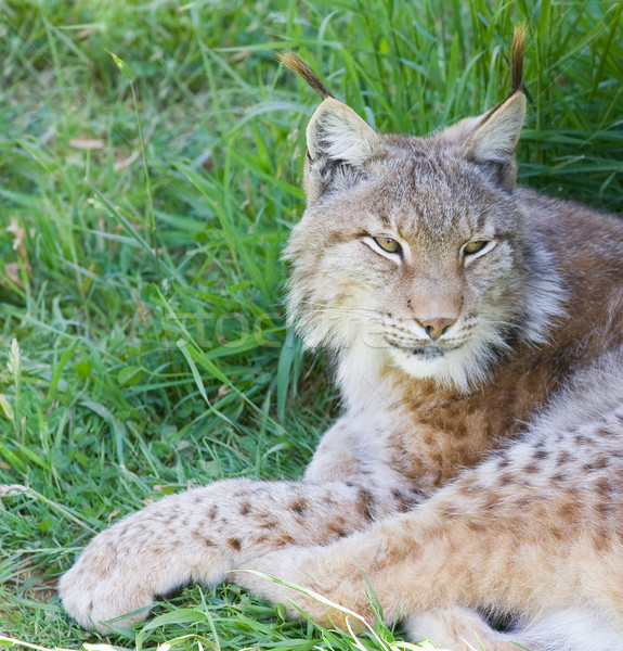 iberian lynx Stock photo © Studiotrebuchet