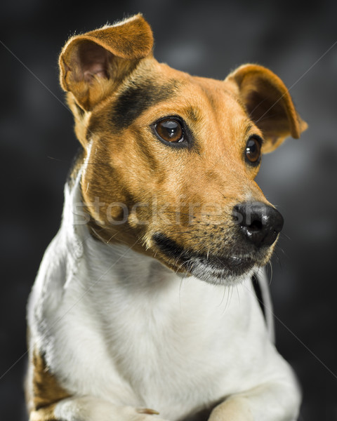 lovely dog Stock photo © Studiotrebuchet